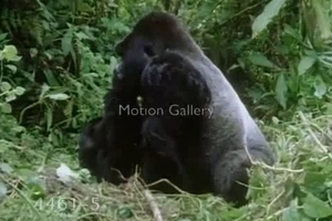 Sexy apes have amazing sex in the deep jungles